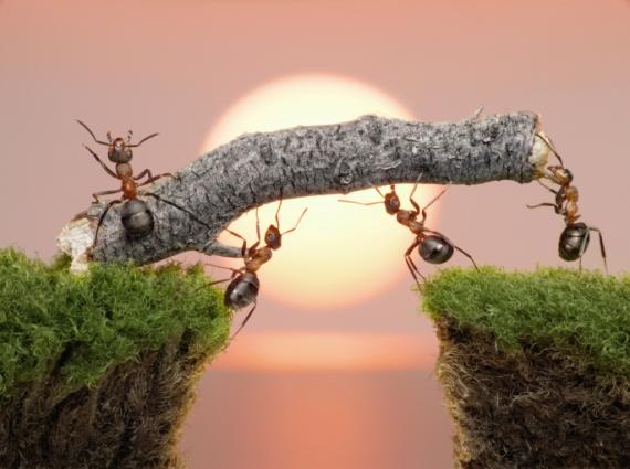 semut-semut-membangun-jembatan