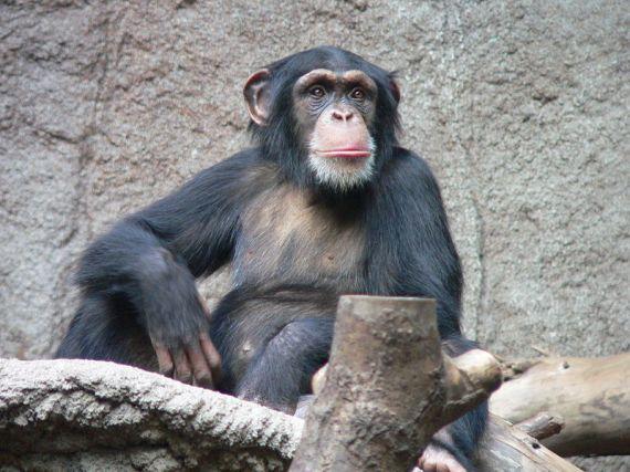 Om simpanse yang di anggap masih sodara manusia :)